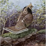 Strutter the Ruffed Grouse