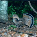 Wisconsin Grouse Drumming Survey 2014