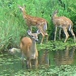 doe 2 fawns