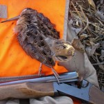 Large numbers of woodcock are back in Wisconsin April 8, 2013.  Hopefully this bodes well for this fall&#039;s hunt.