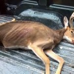 CWD Infects Bucks Twice the Rate of Does