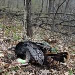2015 first turkey at kill site (1) (640x594)